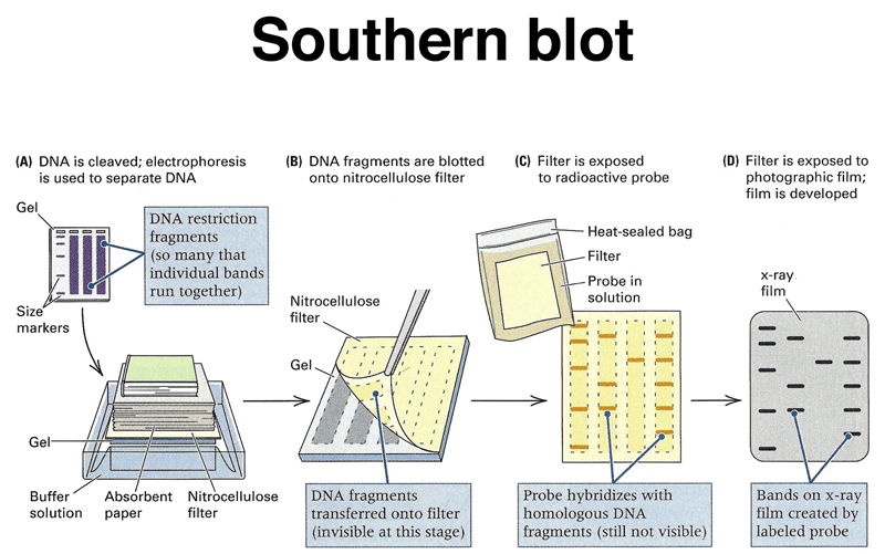 An analysis of the steps for southern blotting on digesting the dna with an appropriate restriction