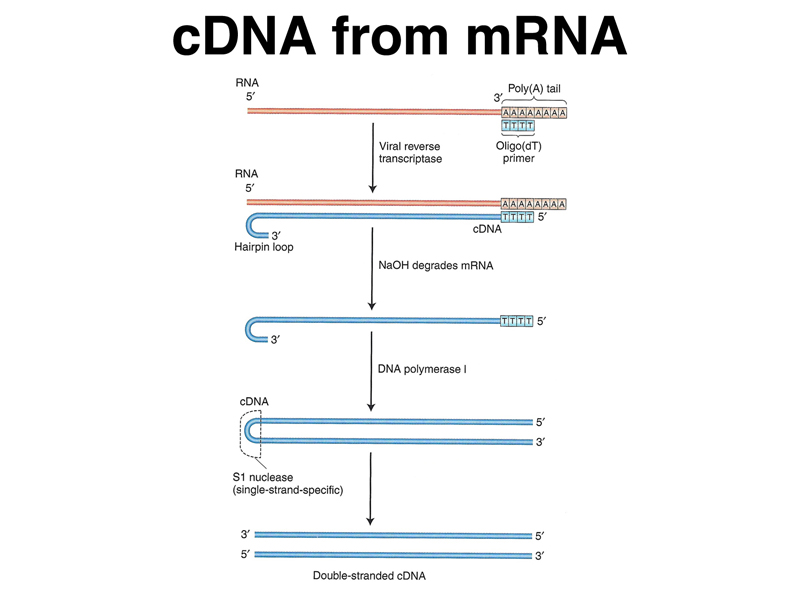 cdna systhesis The synthesis of dna from an rna template, via reverse transcription, produces  complementary dna (cdna) reverse transcriptases (rts) use an rna.