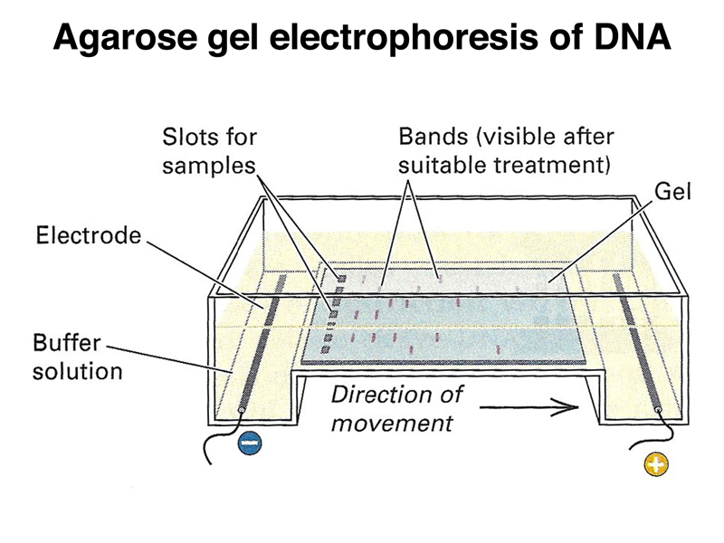 Polymerase Chain Reaction + Agarose Gel Electrophoresis: What do ...