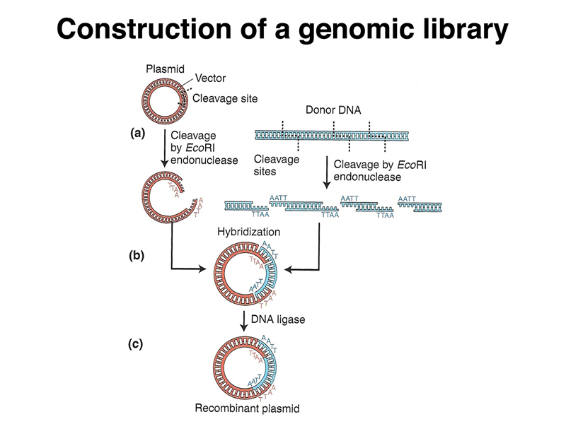 genomic library construction - photo #1