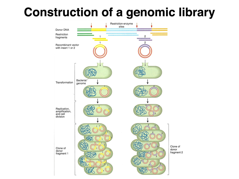 genomic library construction - photo #3