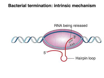 Eukaryotic Transcription Termination Eukaryotic Termination